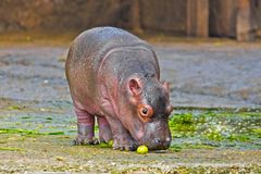 Petit hippopotame photo stock