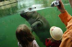 Petit hippopotame photographie stock