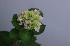 Petit hortensia image libre de droits