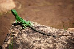 Petit iguane photo libre de droits