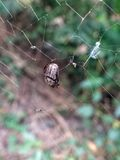 Petit insecte noir d'insecte de scarabée emprisonné dans une toile d'araignée d'araignée essayant de survivre photographie stock