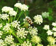 Petit insecte sur l'usine fleurissante, Lithuanie Photo stock