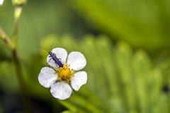 Petit insecte sur une fleur de fraise Images libres de droits
