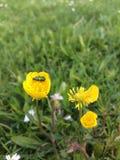 Petit insecte sur une fleur jaune Photographie stock