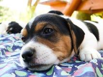Petit Jack Russell Terrier photos stock