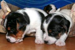 Petit Jack Russell Terrier Puppies image libre de droits