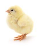 petit jaune de poulet Images libres de droits