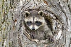 Petit jeter un coup d'oeil de raton laveur notre du trou dans l'arbre image libre de droits
