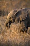 Petit jeu de veau d'éléphant dans le sort de longue herbe verte et de avoir de f Photographie stock libre de droits