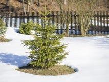 Petit jeune arbre impeccable vert vif dans la neige blanche dans le jour ensoleill? d'hiver avec la barri?re en bois ? l'arri?re- images libres de droits