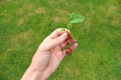 Petit jeune arbre noisette Photographie stock