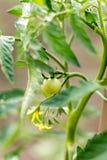 Petit jeune rendement de tomate dans le jardin Photographie stock
