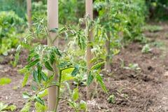 Petit jeune rendement de tomate dans le jardin Images libres de droits