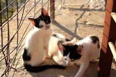 Petit Kitten Persian Cats Playing coucher du soleil de trois photos libres de droits