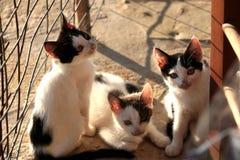 Petit Kitten Persian Cats Playing coucher du soleil de trois photographie stock libre de droits