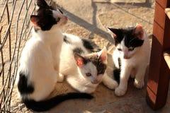 Petit Kitten Persian Cats Playing coucher du soleil de trois photographie stock