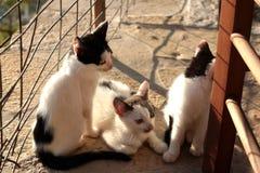 Petit Kitten Persian Cats Playing coucher du soleil de trois images libres de droits