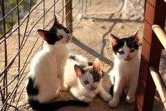 Petit Kitten Persian Cats Playing coucher du soleil de trois photo libre de droits