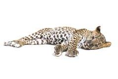 Petit léopard sur le blanc Photo libre de droits
