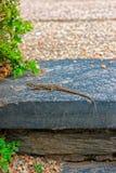 Petit lézard de gecko se trouvant sur la pierre photo stock