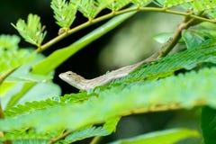 Petit lézard se cachant parmi des feuilles d'arbre Photographie stock libre de droits