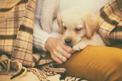 Petit Labrador drôle se reposant sur les jambes du ` s de femme en automne Image libre de droits
