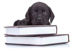 Petit Labrador intelligent image libre de droits