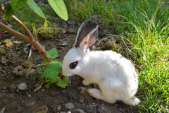 Petit lapin Photo stock