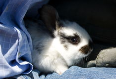 petit lapin Image libre de droits