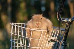 Petit lapin aux oreilles tombantes Images libres de droits