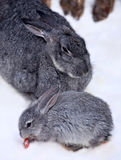 Petit lapin avec le daine-lapin Photo libre de droits