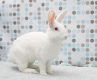 Petit lapin blanc mignon de bébé à la maison dans une couverture pelucheuse Images stock