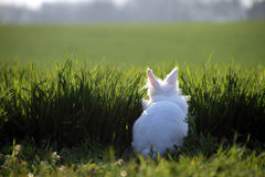 Petit lapin blanc sur l'herbe verte Photo libre de droits