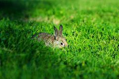 Petit lapin bon se cachant dans l'herbe photos stock