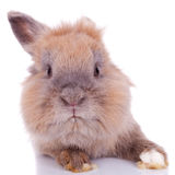 Petit lapin brun curieux Photo libre de droits