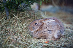 Petit lapin brun mignon Images libres de droits