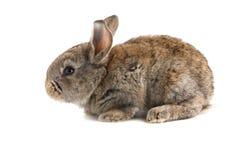 Petit lapin brun, vue de côté, sur le blanc Image stock