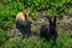 Petit lapin drôle noir et rouge avec de longues oreilles Photo libre de droits