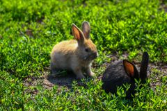 Petit lapin drôle noir et rouge avec de longues oreilles Photos stock