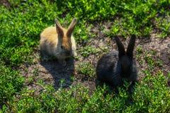 Petit lapin drôle noir et rouge avec de longues oreilles Photographie stock libre de droits