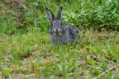 Petit lapin gris image libre de droits