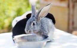 Petit lapin mignon, animal familier gris pelucheux avec le plat de l'eau foyer mou, profondeur de l'espace de copie de champ Images libres de droits