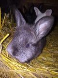 Petit lapin images stock