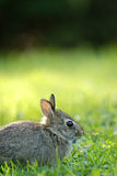 Petit lapin sauvage Photo libre de droits