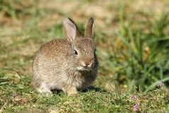 Petit lapin sauvage Photo stock
