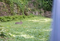 Petit lapin se reposant sur une herbe verte Images libres de droits