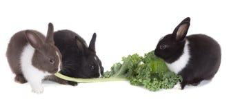 Petit lapin trois mangeant la feuille de chou frisé D'isolement sur le backgro blanc Photographie stock libre de droits