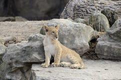 Petit lion Image stock
