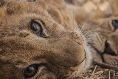 Petit Lion Cubs Image libre de droits