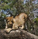 Petit Lion Cubs Photo libre de droits